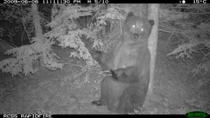 grizzly bears scent marking
