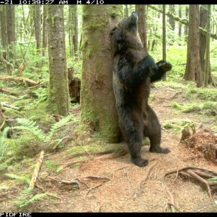 Adult male grizzly bear back rubbing a scent marking tree © Melanie Clapham