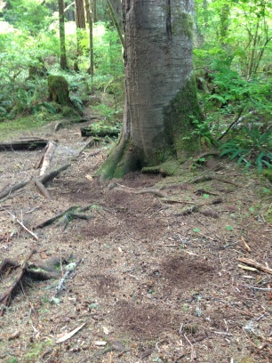 Stomp trail leading to a scent marking tree